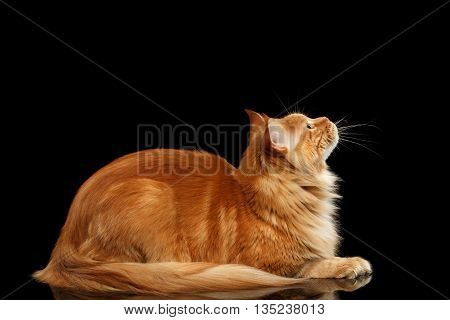 Ginger Maine Coon Cat Lying and Looking up Isolated on Black Background, Side view