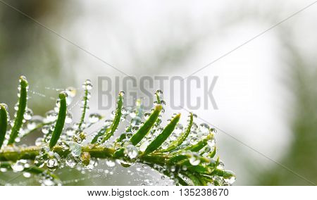 Yew with raindrops against a bright background