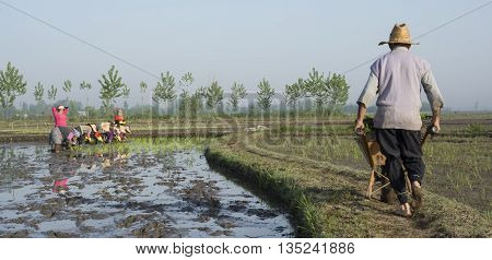 Rasht IRAN - May 2 2015: A Farmer driving a wheelbarrow at narrow pass away in rice farm