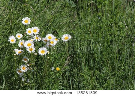Ox-Eyed Daisy (Chrysanthemum leucanthemum) growing along a gravel roadway