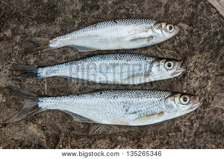 Several Ablet Or Bleak Fish On The Natural Background.
