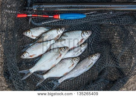Several Ablet, Bream Fish On Fishing Net. Fishing Rod With Float And Fishing Net As Background.