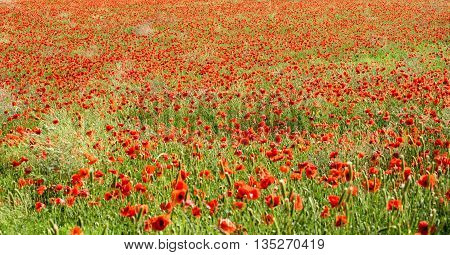 Panoramic View Of Red Corn Poppies