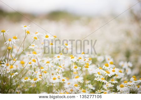 Summer meadow with the blossoming camomiles. Wild chamomile flowers on a field on a sunny day