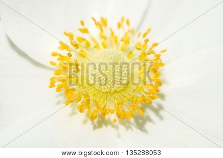 Beautiful yellow core pistil and stamens white flower
