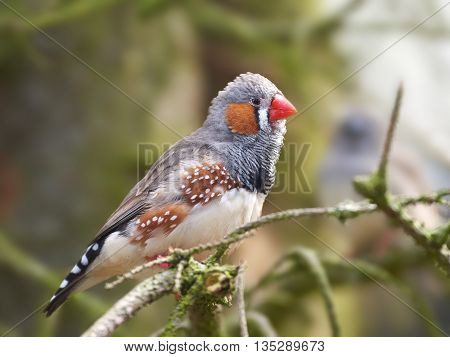 Zebra finch (Taeniopygia guttata) resting on a branch in its habitat