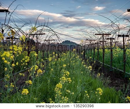 Mustard flowers in a trellised Sonoma vineyard row. Yellow mustard flowers. Blue sky white clouds. Bare grape vines in winter. Trellising of a vineyard row.