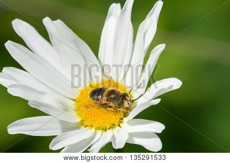 Hoverfly Fly sits on a white camomile