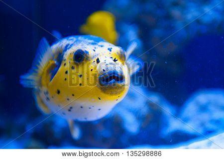 Fugue yellow fish predator of the Red Sea.