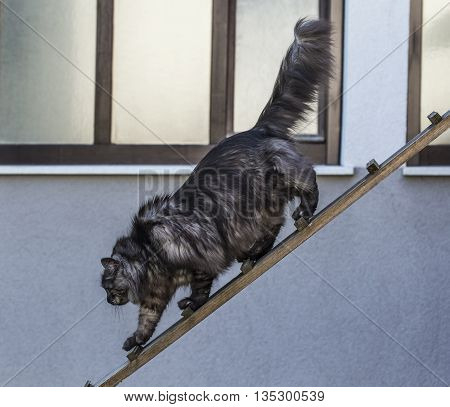 Domestic cat is heading down on a wooden plank.