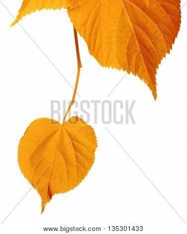 Autumn Tilia Leafs Isolated On White