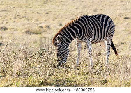 Just Eating - Burchell's Zebra