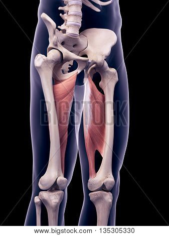 3d rendered, medically accurate illustration of the adductor magnus