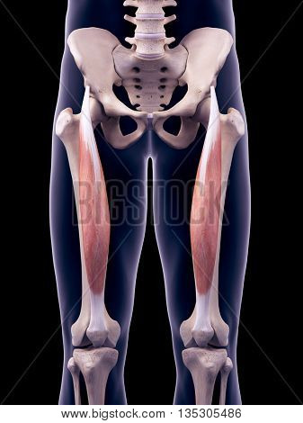 3d rendered, medically accurate illustration of the rectus femoris
