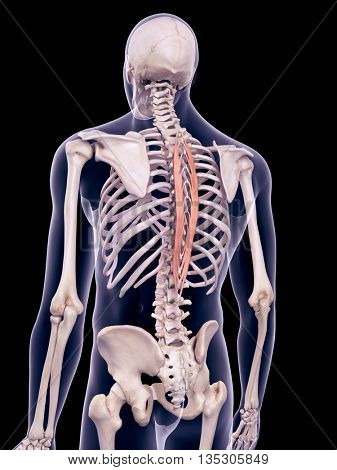 3d rendered, medically accurate illustration of the spinalis thoracic