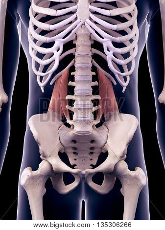 3d rendered, medically accurate illustration of the quadratus lumborum