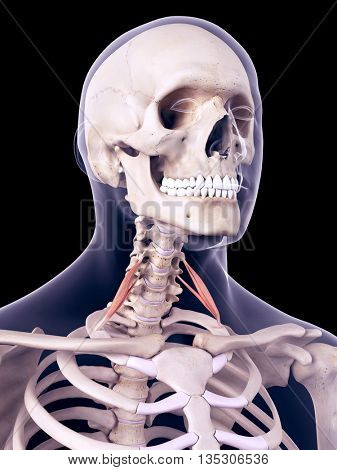 3d rendered, medically accurate illustration of the scalene anterior