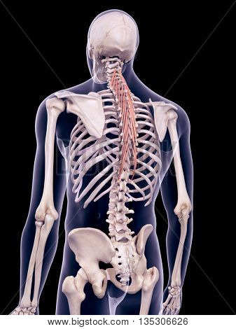 3d rendered, medically accurate illustration of the semispinalis thoracic