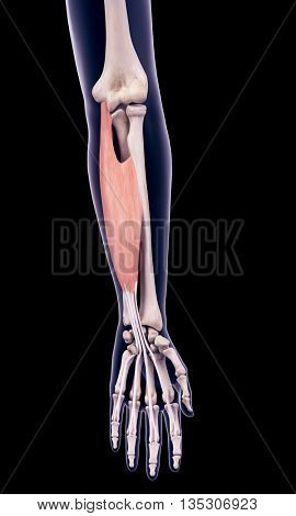 3d rendered, medically accurate illustration of the flexor digitorum superficialis