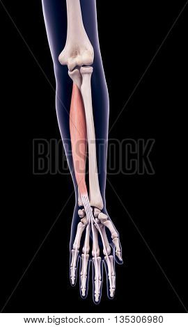 3d rendered, medically accurate illustration of the flexor digitorum profundus