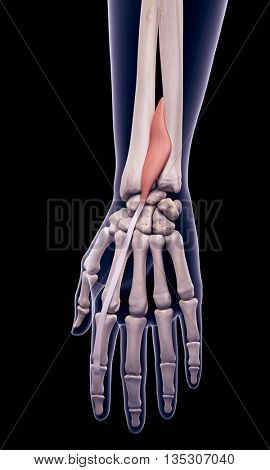 3d rendered, medically accurate illustration of the extensor indicis
