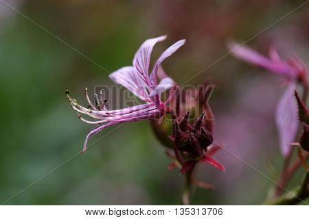 Flower of a burning bush (Dictamnus albus)