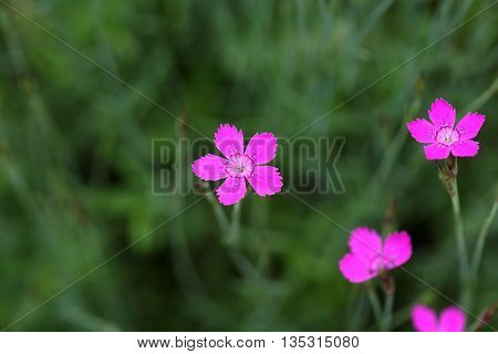 Flower of a maiden pink (Dianthus deltoides)