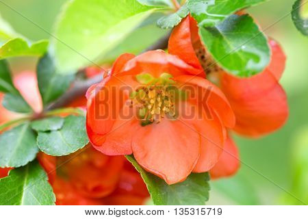 Red flowers of the Japanese quince. Flowers have blossomed and are lit with the sun foliage light green. Close up small depth of sharpness