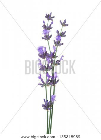 Three  sprigs of lavender  isolated on white background.