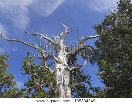 Great Basin Bristlecone Pines are the oldest living trees.