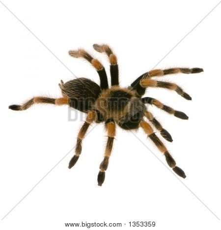 mexican redknee tarantula in front of a white backgroung poster
