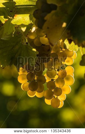 closeup of backlit sauvignon blanc grapes on vine