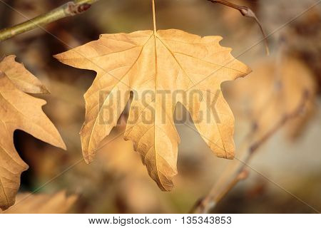 A dry sycamore leaf on branch tree