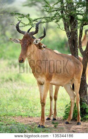 wild hartebeest (kongoni) african antelope in natural park