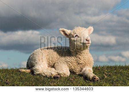 closeup of baby lamb basking on grass