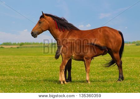 Mother horse nurse foal on the floral meadow