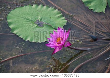 A beautiful purple or pink lotus in mire