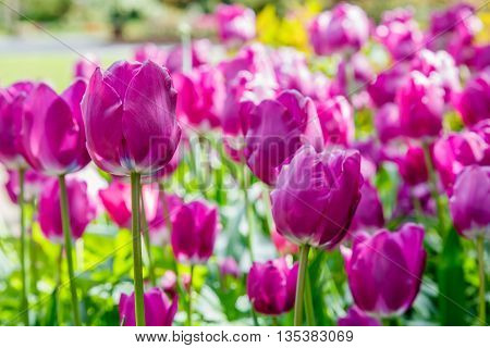 Purple tulips tulipa in a garden flower bed