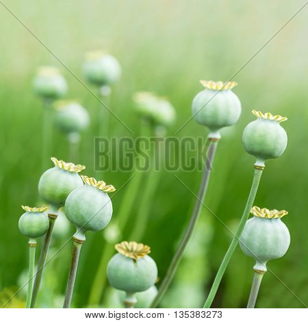 Closeup of closed poppy (Papaveraceae) heads in a field