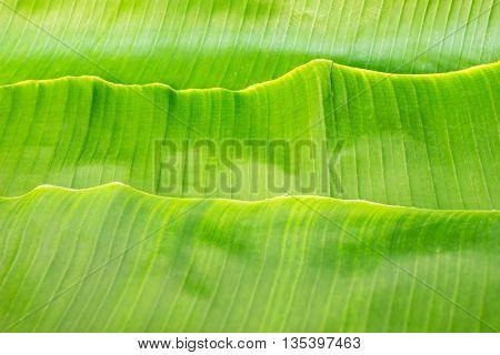 Green banana leaf stack for background .