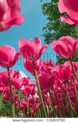The colorful tulips close up against blue sky in Keukenhof flower garden, Lisse, Netherlands, Holland
