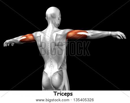 Concept or conceptual 3D illustration triceps human anatomy or anatomical and muscle isolated on black background