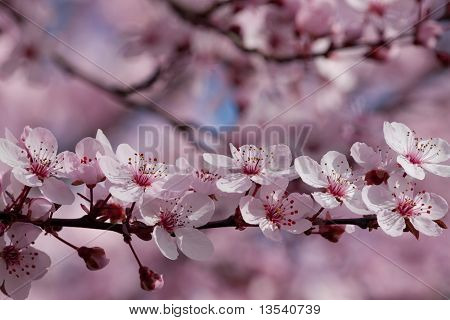 Branch Of Delicate Cherry Blossoms