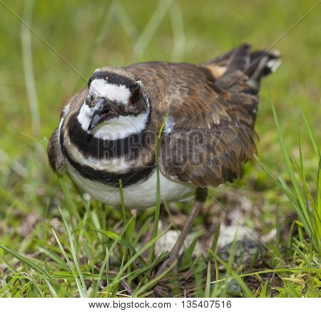 Killdeer sounding the alarm as a photographer gets close to its nest