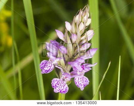 Inflorescence Dactylorhiza maculata Heath Spotted Orchid macro selective focus shallow DOF