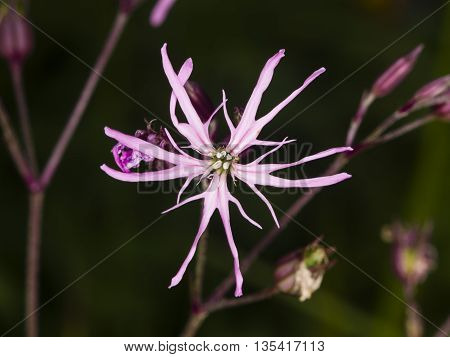 Ragged-Robin Lychnis flos-cuculi flower detailed macro on bokeh background selective focus shallow DOF poster