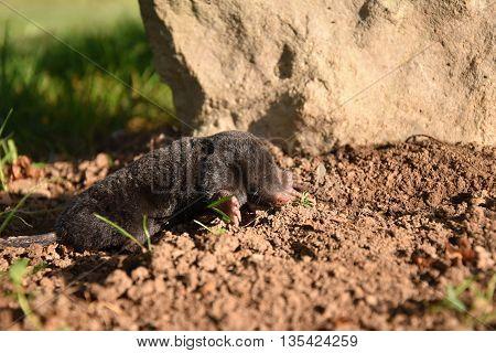 Mole in the garden of stone. Mole - Talpa europaea. Mole on dirt.