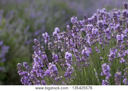 Bunch of scented flowers in the lavanda fields