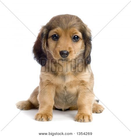 dachshund puppy in front of white background poster