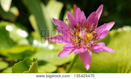Close Up And Blury Background Honey Bee Flying And Bees Collecting Pollen In Deep Of Colorful Bloomi